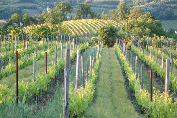 Italy Vineyard:Linda Holt Photo
