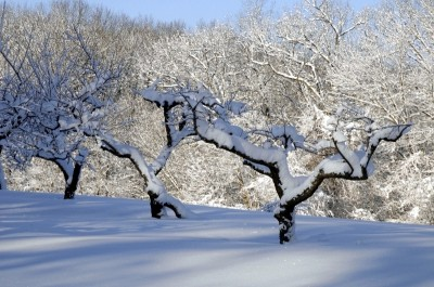 apple trees covered with snow